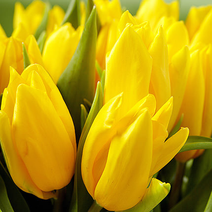 Yellow tulip (by an item)  - buy in Ukraine
