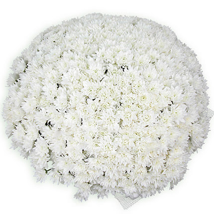 101 white daisy chrysanthemums  - buy in Ukraine