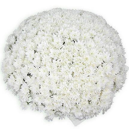 101 white daisy chrysanthemums  - buy in Ukraine