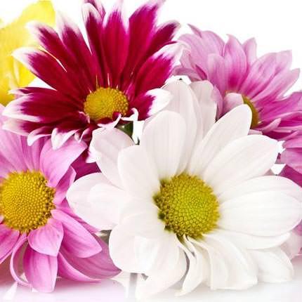 Хризантема микс (поштучно)  - купить в Украине