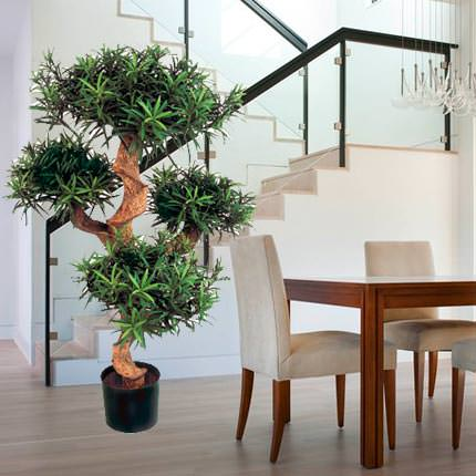 "Houseplant ""Podocarpus"" macrophylla (sectional)  - buy in Ukraine"