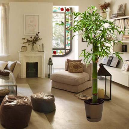 """Комнатное растение """"Бамбук"""" (обыкновенный, штамбовой)  - купить в Украине"""