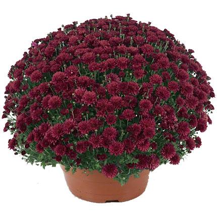 Хризантема в горщику (велика)  - придбати в Україні