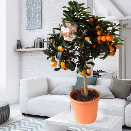"""Комнатное растение """"Цитрус Кумкват"""" (Kumquat)  - купить в Украине"""