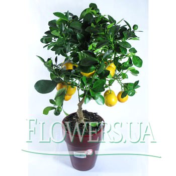 """Комнатное растение """"Цитрофортунелла""""  - купить в Украине"""