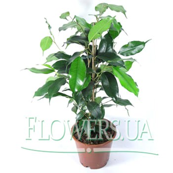 """Комнатное растение """"Фикус""""  - купить в Украине"""