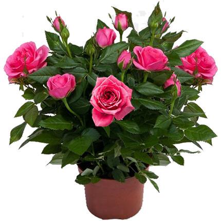 """Комнатное растение """"Роза""""  - купить в Украине"""