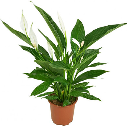 "Houseplant ""Spathiphyllum""  - buy in Ukraine"