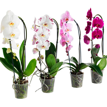 "Houseplant ""Phalaenopsis"" (Orchid)  - buy in Ukraine"