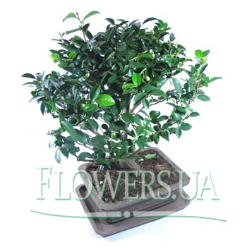"Houseplant ""Bonsai""  - buy in Ukraine"