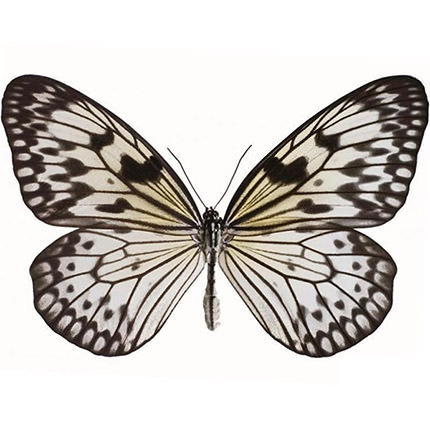 "Live butterfly ""Zebra""  - buy in Ukraine"