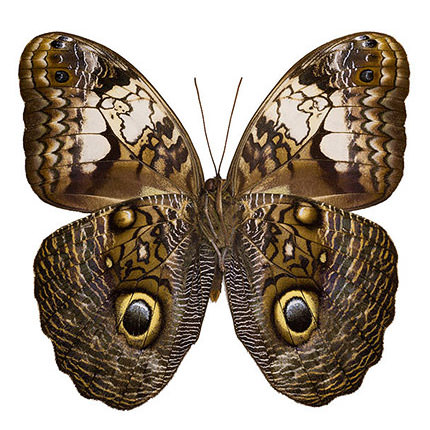 "Live butterfly ""Kaligo""  - buy in Ukraine"