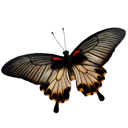"Live butterfly ""Levy""  - buy in Ukraine"
