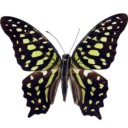 "Live butterfly ""Agamemnon""  - buy in Ukraine"