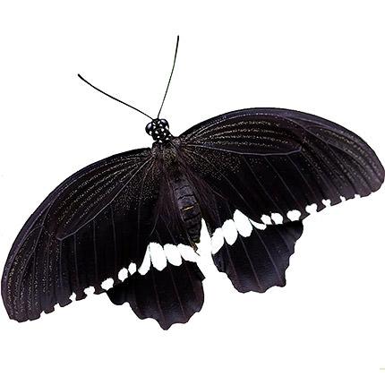 """Live butterfly """"Mormon ordinary"""" (male)  - buy in Ukraine"""