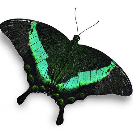 "Live butterfly ""Peacock""  - buy in Ukraine"
