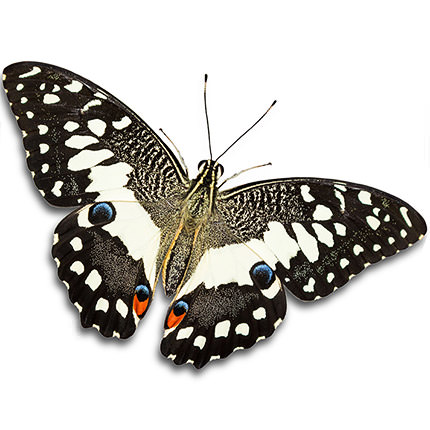 Live butterfly