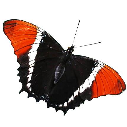 """Живая бабочка """"Эпафия""""  - купить в Украине"""