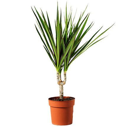"Houseplant ""Dracaena""  - buy in Ukraine"