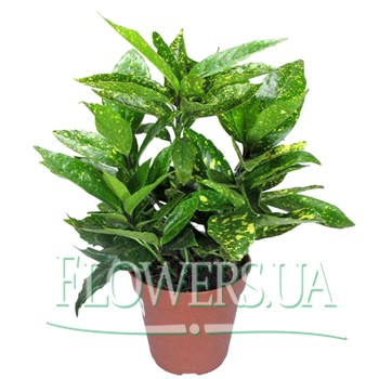 "Houseplant ""Aucuba""  - buy in Ukraine"