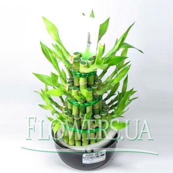 "Houseplant ""Bamboo""  - buy in Ukraine"