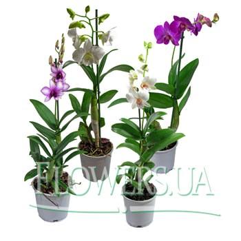 """Комнатное растение """"Дендробиум"""" (орхидея)  - купить в Украине"""