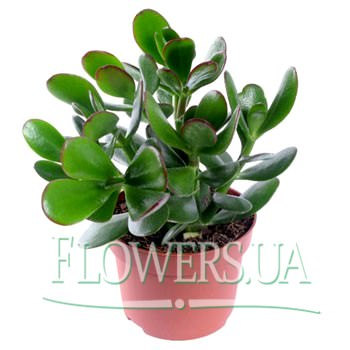 "Houseplant ""Crassula"" (Money Tree)  - buy in Ukraine"