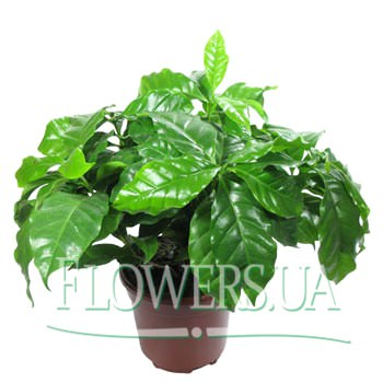 "Houseplant ""Coffee""  - buy in Ukraine"