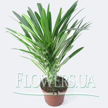 """Комнатное растение """"Пахиподиум""""  - купить в Украине"""