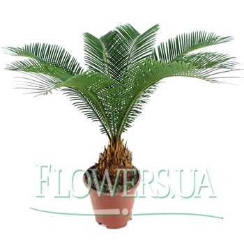 "Houseplant ""Tsikas""  - buy in Ukraine"