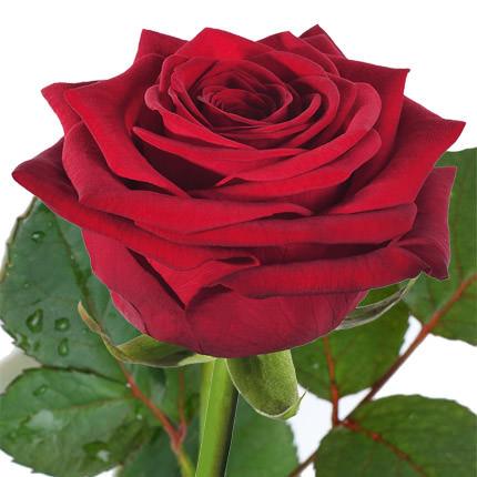 Роза красная (поштучно)  - купить в Украине