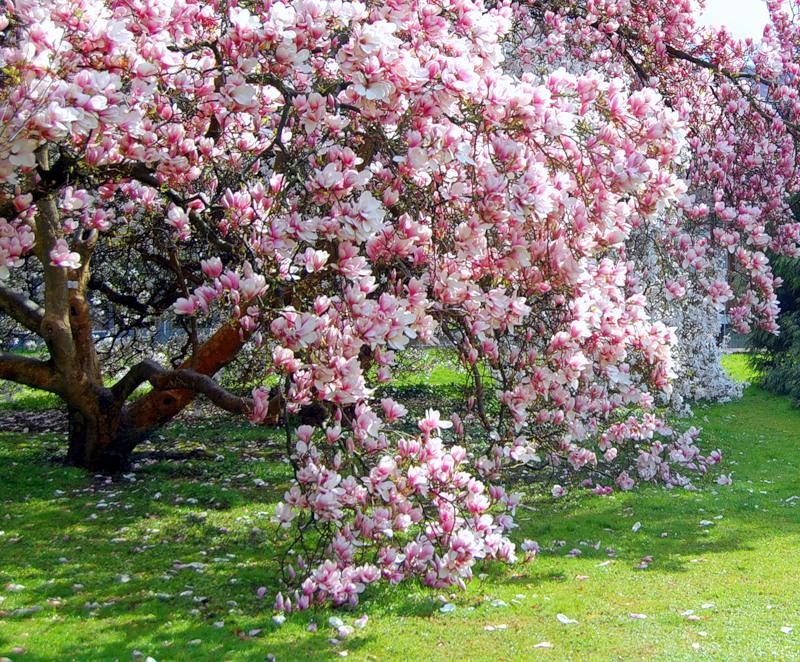цветущее дерево магнолии