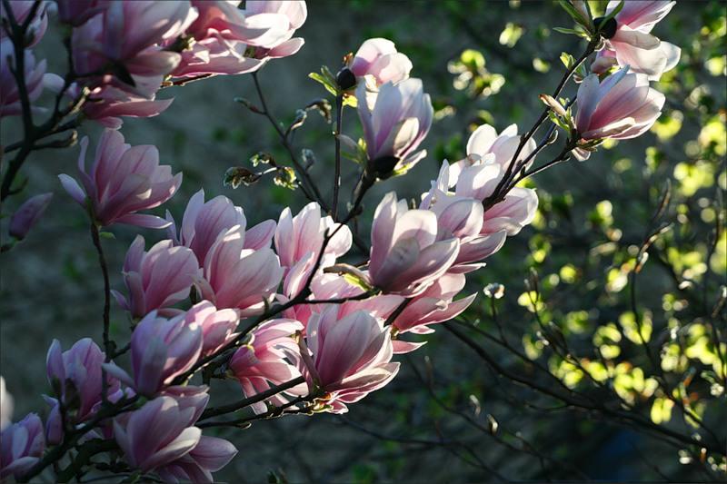 ветвь розовой магнолии