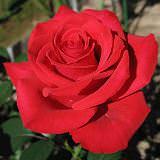 Обрезка роз весной – пышный розовый сад летом