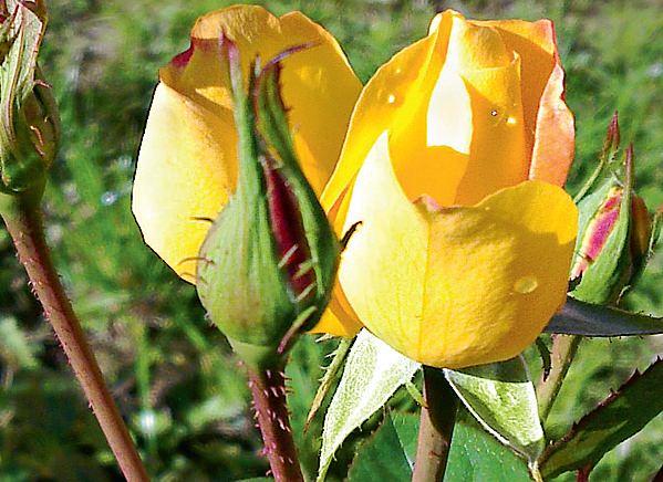 желтые канадские розы