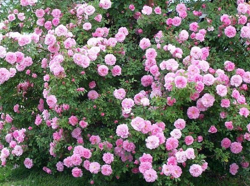 плетистые канадские розы