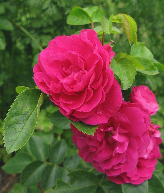 морозостойкие канадские розы