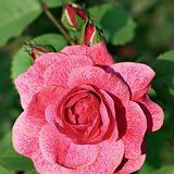 Канадские розы – морозостойкие красавицы в Вашем саду