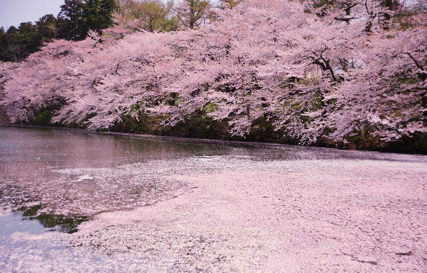 когда цветет сакура в Японии