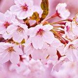 Когда цветет сакура, пусть весь мир подождет!