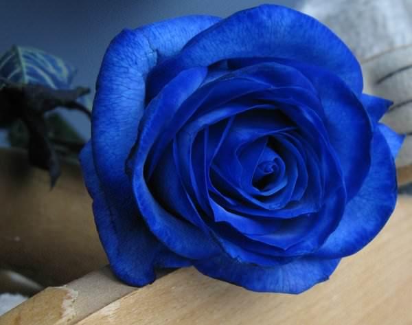 Синие или голубые розы