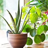 Невибагливі кімнатні рослини, за якими легко доглядати