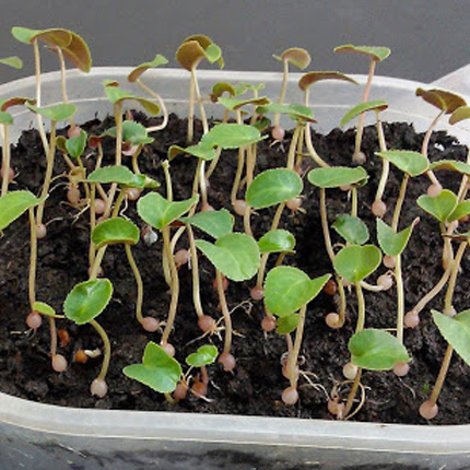Размножение и выращивание цикламена