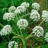 Ядовитые растения Украины