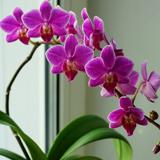 Почему у орхидеи желтеют листья