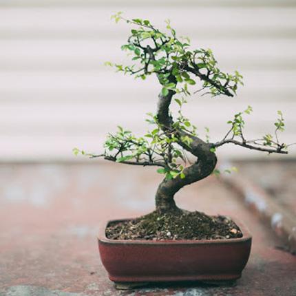 Какие растения подходят для бонсай
