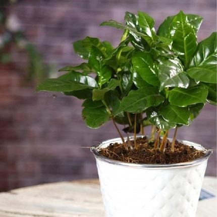 Популярные виды кофейных растений