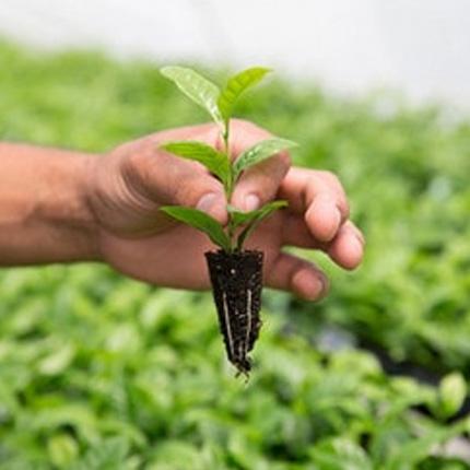 Выращивание кофейного дерева из черенка