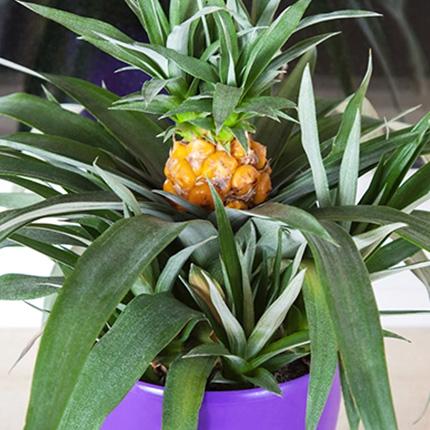 Способы cтимyляции цветения ананаса