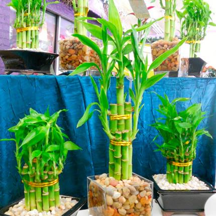 Виды домашнего бамбука